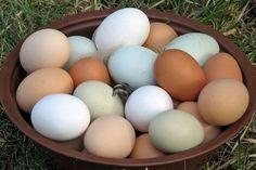 Самые яйценоские породы кур и самые лучшие несушки с описанием и фото. ТОП 7 продуктивных кур с яйценоскостью до 400 яиц в год. Содержание и уход, отзывы.