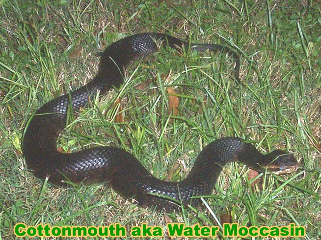 cottonmouth: water moccasin