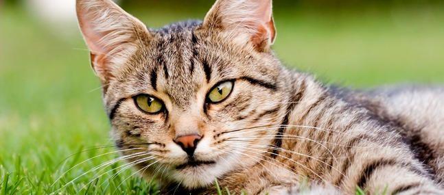 les 214 meilleures images propos de j 39 adore les chats sur pinterest havana brown chats. Black Bedroom Furniture Sets. Home Design Ideas