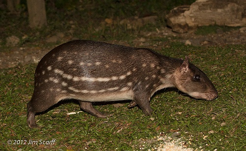 Tepezcuintle (Agouti Paca)-This large rodent is considered ...