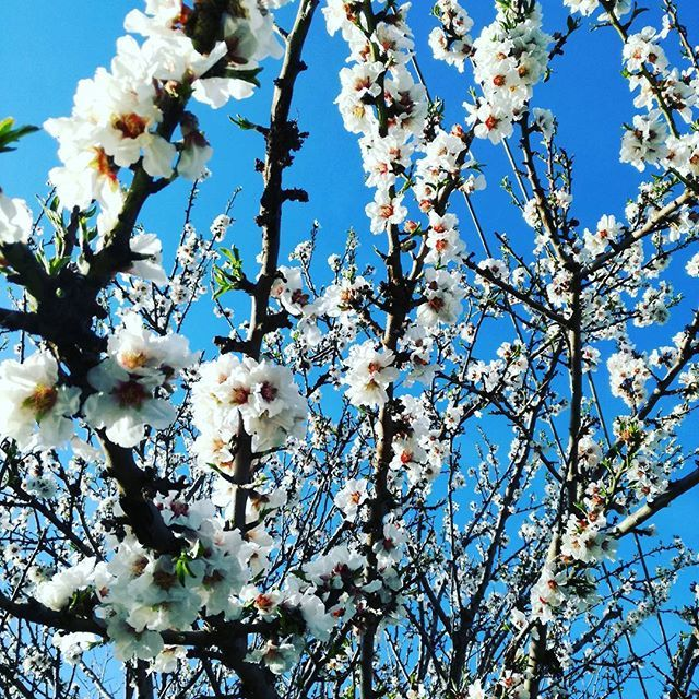 Blue sky full of spring flowers🌿  #spring #almondtree #almondflower #whiteflowers #white #flowers #flower #sky #bluesky #sunnyday #sun #greece #visitgreece #nature #naturelovers #bloggerlife #sunday #afternoon #natureinspiration #inspiration #fashionbloger #blogger #zkstyle