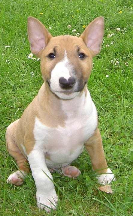 The puppy Kai wants when I graduate & buy a house with a big yard. Mini Bull Terrier.