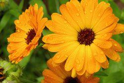 Ringelblume – Aussaat und Pflege der Heilpflanze