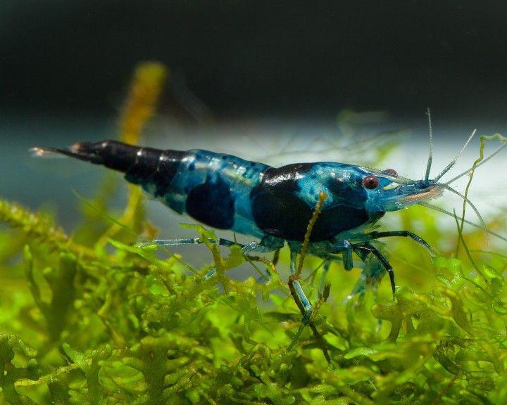 Blue/Black Rili Sakura Garnele - Neocaridina davidii 3.69 € #shrimp