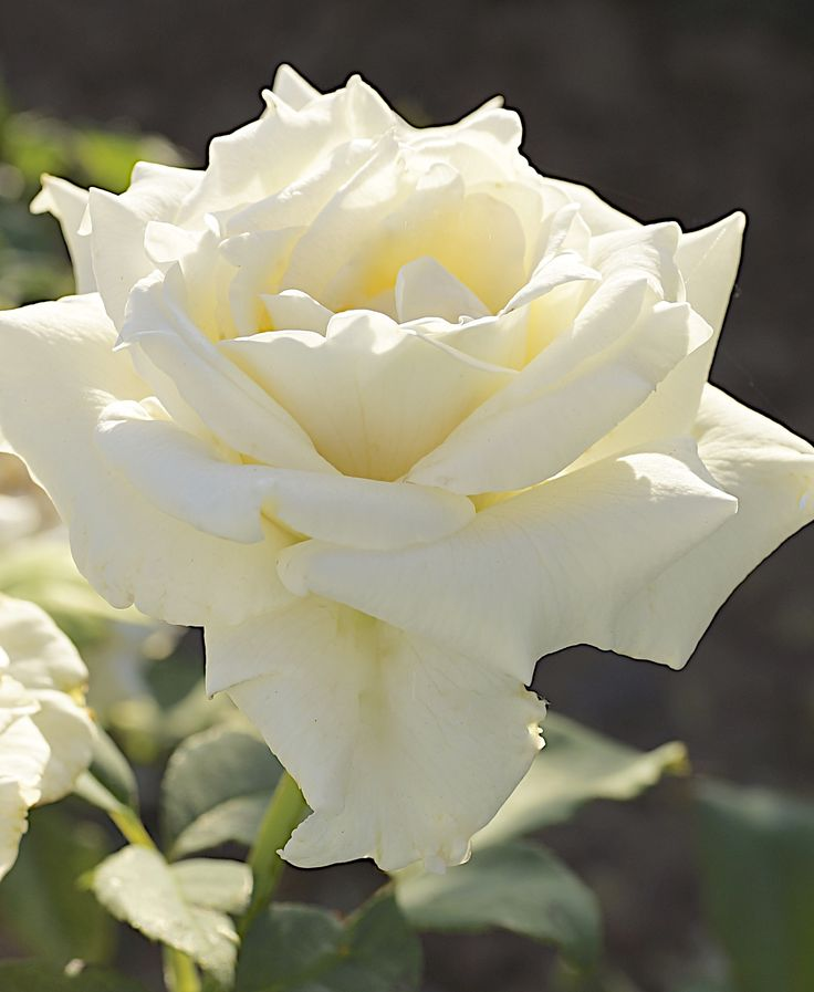 Pascali ~ WFRS Hall of Fame, set the standard for white Hybrid Teas.