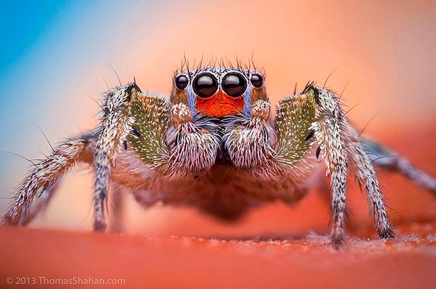 Macro Jumping Spiders