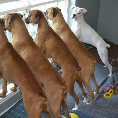 The only thing better than 1 Boxer, is FIVE!!