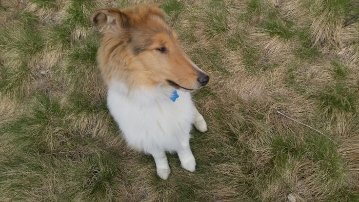 Rough collie 4 months