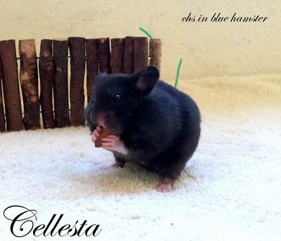 Cellesta chs in blue hamster