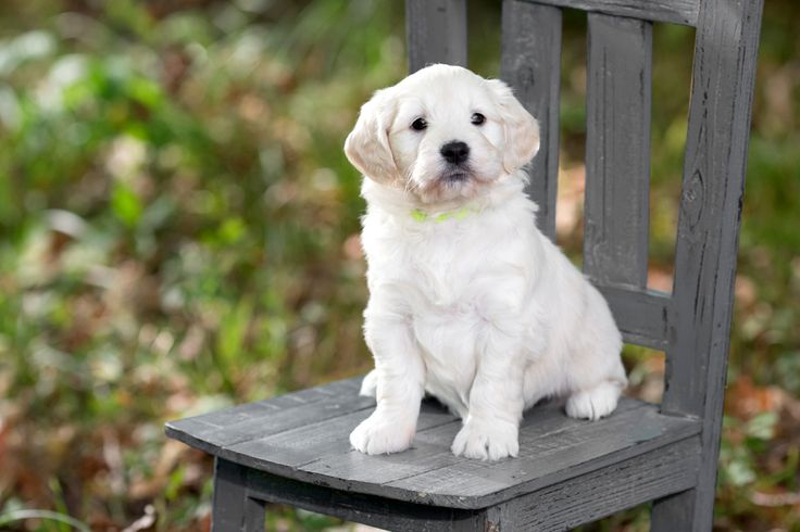 English cream mini golden doodle puppies royal