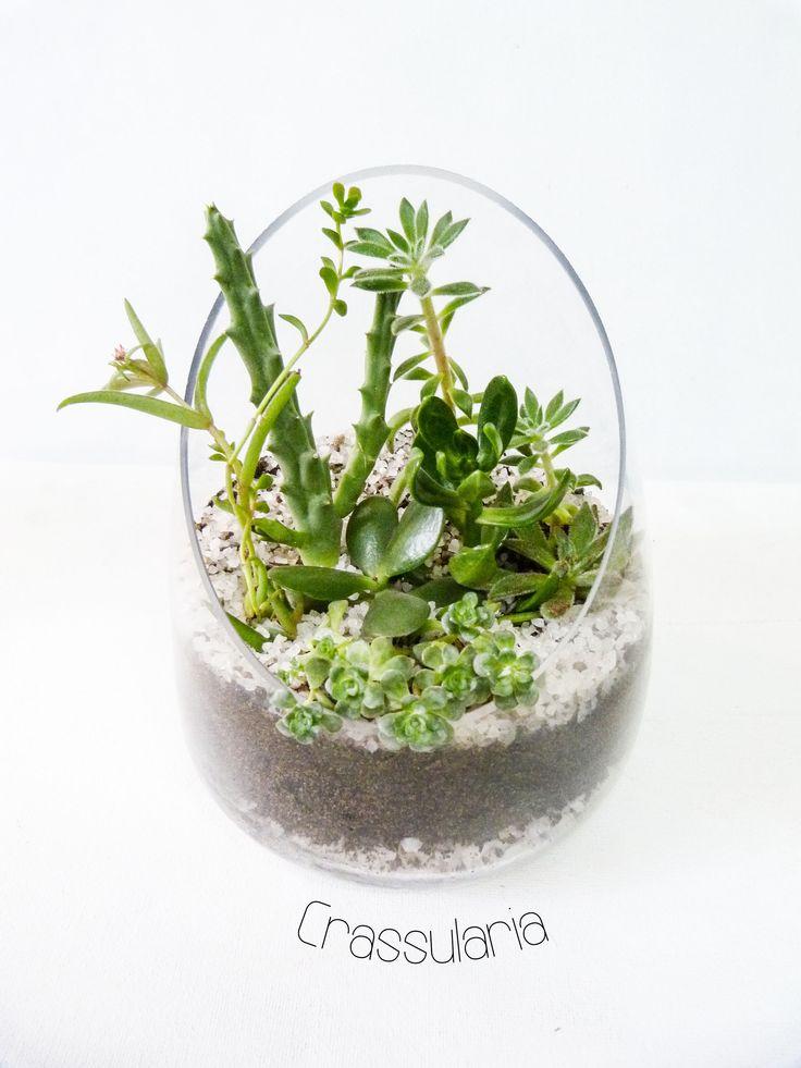 Stapelia variegada o flor de lagarto, suculenta expansa, Sedum praealtum,  Echeveria Set-Oliver, jade, en base de vidrio y cuarzo blanco.  10 x 18 cms.