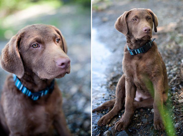 Our Chesapeake Bay Retriever – Diesel Dog