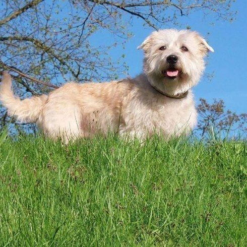 Glen of Imaal. | 14 Perritos de raza Terrier que probablemente no conocías y vas a querer