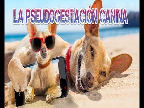 La pseudogestación canina