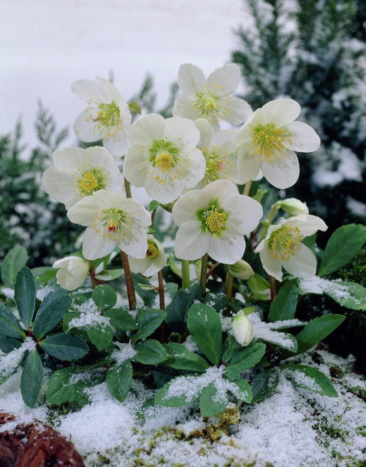 If you're the type of person who wants to care about gardening even in winter, ahead you will find ten pretty plants that can survive the cold weather and the snow. #gardening #winter