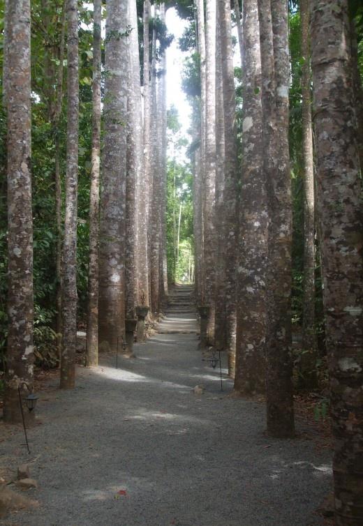 The Avenue of Kauri Pines at Paronella Park, North Queensland