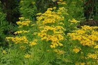 Zdrowie z roślin: Wrotycz - silny i pewny w działaniu lecz zakazany