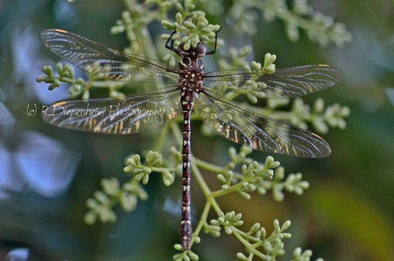 Sunset Through Dragonfly Wings  digital by RDiepenheimFoto on Etsy, $10.00