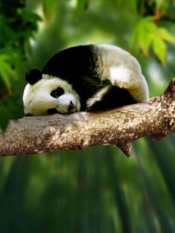 Giant panda plays in tree.