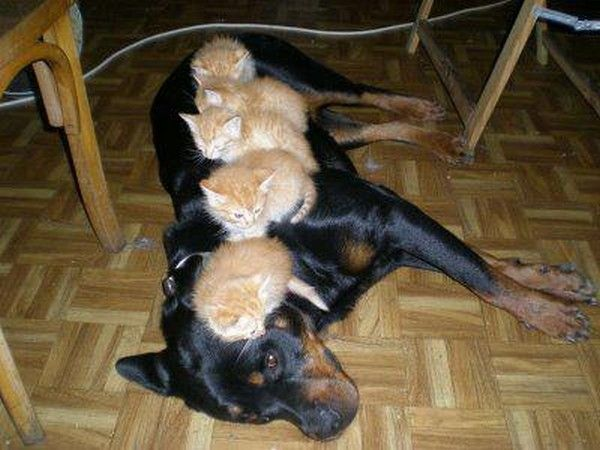 A kitten King-sized bed  ... this one goes out to those that call these breeds 'vicious'