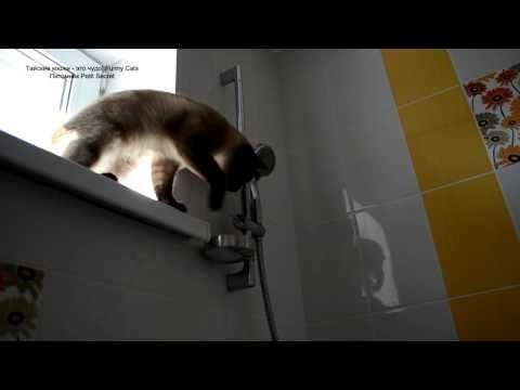 Тайский кот ловит капельки воды из душа! Тайские кошки - это чудо! Funny Cats - YouTube