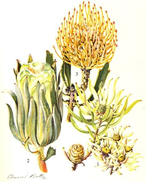 intheheatherbright:  Proteaceae. 1, Leucadendron salignum.  2, Protea incompta.  3. Pincushion. M. Courtenay-Latimer, G.G. Smith, illus. H. ...