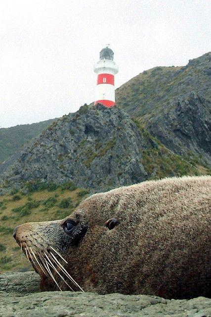 Cape Palliser / Cook Street / Most southern lighthouse of the North Island  NZ sea lions are endangered and are usually seen only on some  small islands along the coast of the South Island and here. World wide it is one of nine places they live.   Neuseeländische Seelöwen stehen auf der Roten Liste, kommen eigentlich nur auf einigen kleinen Inseln sowie an der Küste der Südinsel vor - und hier einer von nur neun Plätzen weltweit, an dem diese Tiere leben.