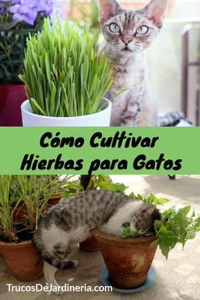 How to Grow Cat Herbs These cat herbs are the best herbs you can grow, and your cats will thank you for them! Keep reading to learn how to grow cat herbs in your garden! via Plant Instructions Cat Safe Plants, Cat Plants, Houseplants Safe For Cats, Herb Plants, Cat Garden, Herb Garden, Garden Grass, Cat Friendly Plants, Gato Gif