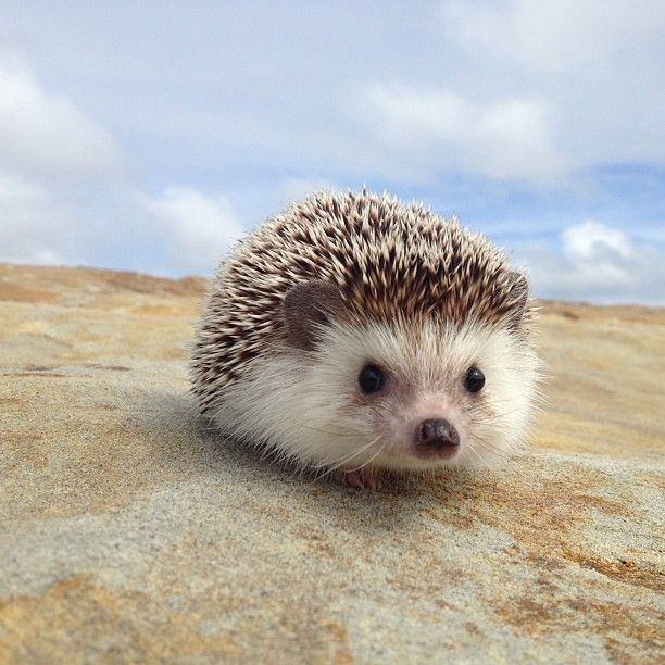 Biddy the African Pygme Hedgehog