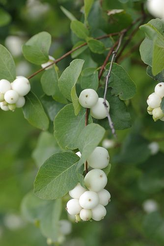 Snowberry (Symphoricarpos albus). Native from CA to Alaska, east to Montana. Typical  2-6'T & W. Dull leaves, more fruit if grown in full sun.  Great for erosion control on steep banks.
