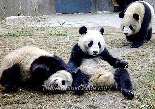 Chengdu Wolong National Natural Reserve, Sichuan Giant Panda Sanctuaries, China