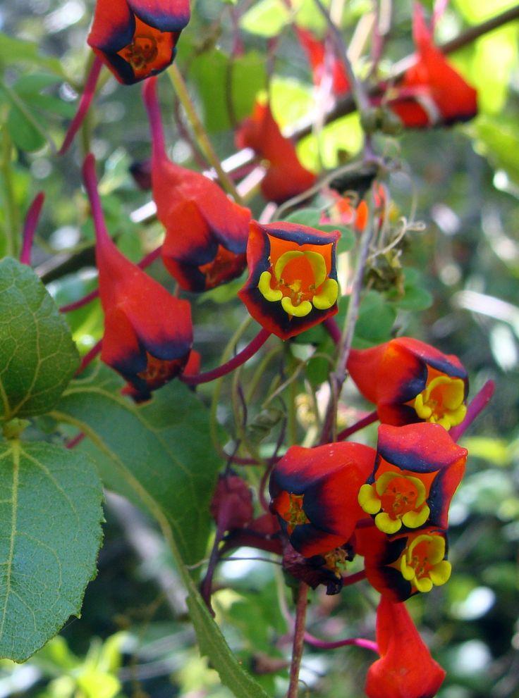 Tropaeolum tricolor, also known as Pajarito, Relicario, o Soldadito. Species endemic of Chile; lives between Antofagasta and Los Lagos. Blooms from September to November. Photo taken near Placilla de Peñuelas.