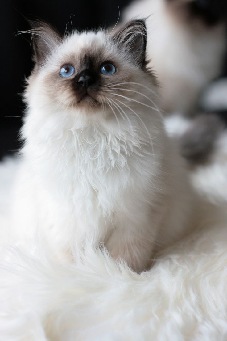 Ragdoll kitten. I'm more of a dog person but they're so cute. I NEED ONE!