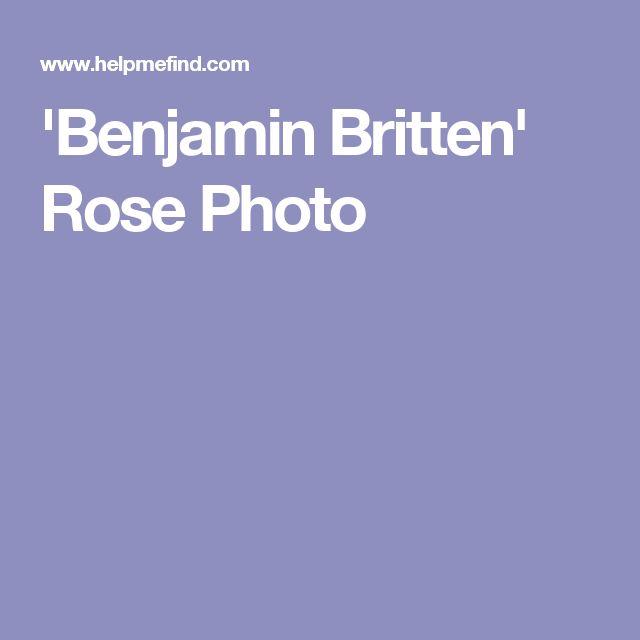'Benjamin Britten' Rose Photo