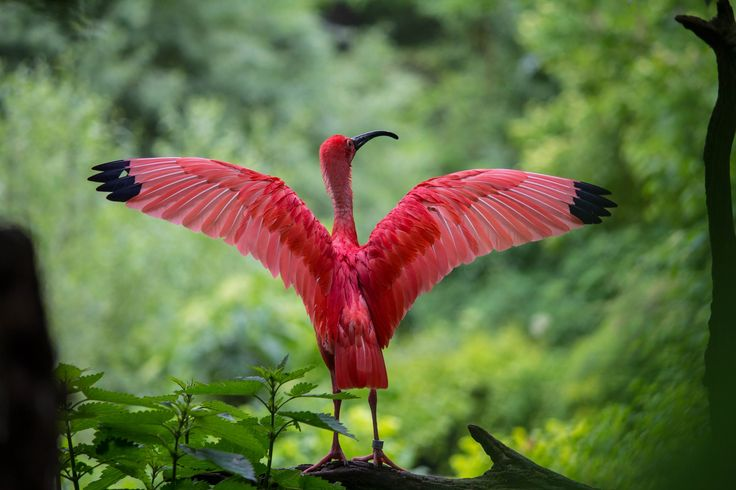 Scarlet Ibis - An ibis in the zoo in Munich