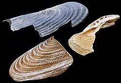 Pholas dáctilo es una especie de almeja luminiscente, al igual que las especies género Pholas, que se distribuye en la costa del Pacífico de América del Sur. Es perforador de rocas. Era un alimento de gran prestigio en Europa.1 2    Es sensible a la luz, cuando se expone se retrae en su concha.3