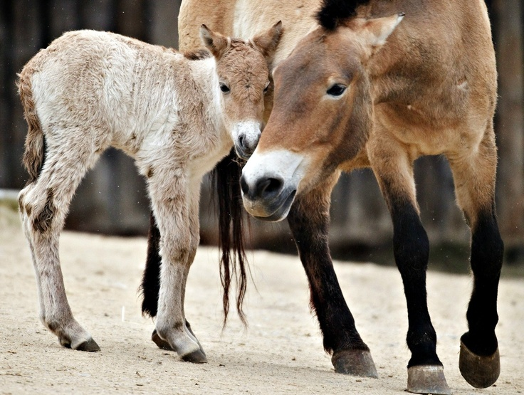 Przewalski's Horse Colt setzt den Erfolg von Zoo Praha mit dieser seltenen Art fort. M …   – Horses