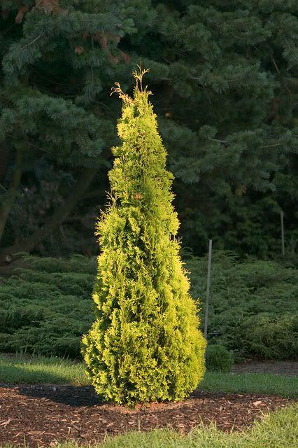 golden spire thuja - Google Search | garden | plants ...