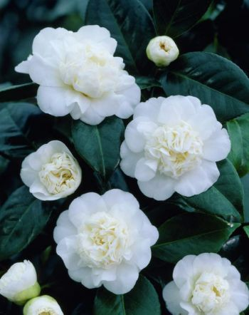 I like this type of flower Camellia Japonica White Flowered Hybrids.
