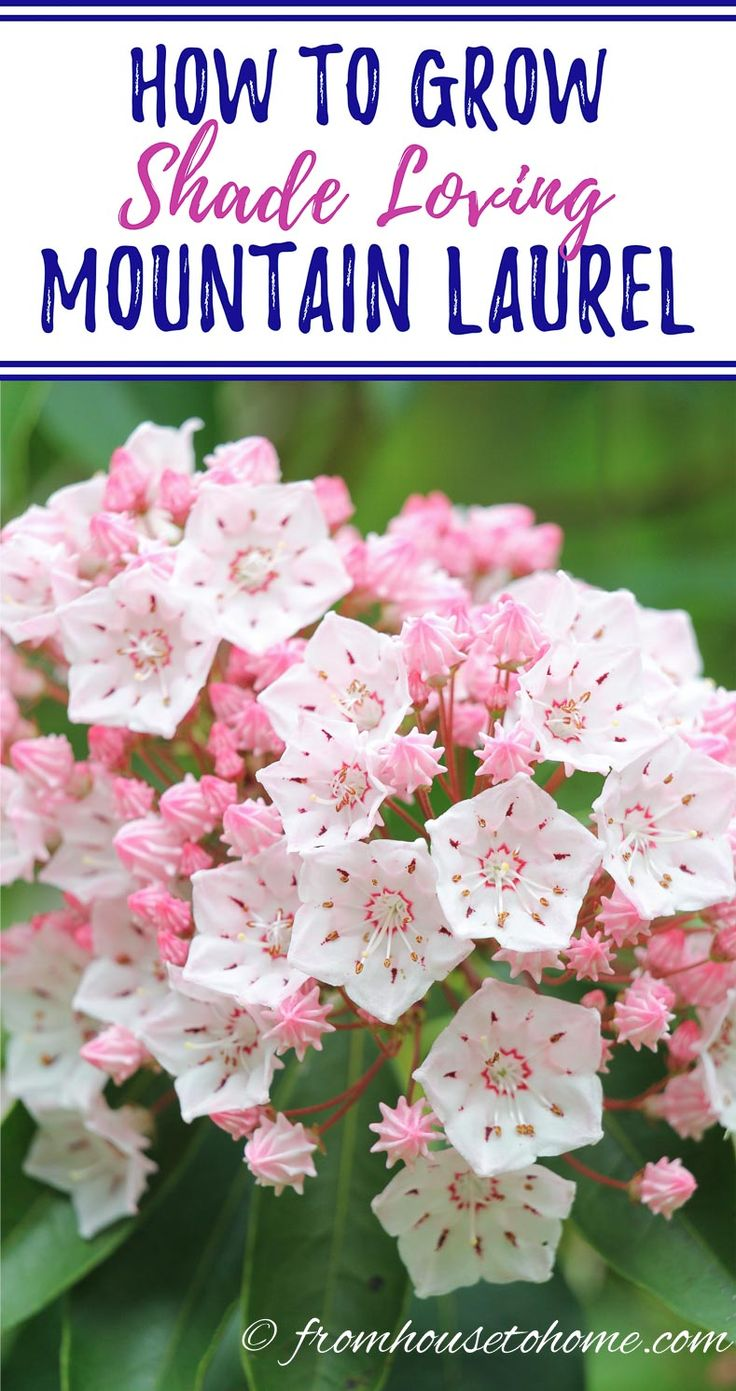 These tips on growing Mountain Laurel are the BEST!! I love that this shade loving shrub (Kalmia latifolia) is evergreen and has beautiful flowers. Now that I know how to care for it, I'm definitely adding one to my garden. Pinning!