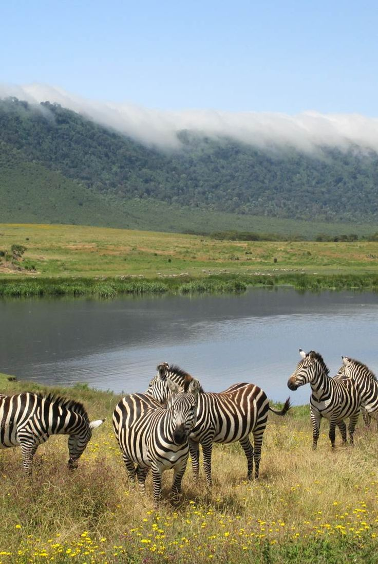 Zebras in the Ngorongoro Crater - considered by many to be the eighth wonder of the world