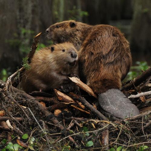 Species of Beavers