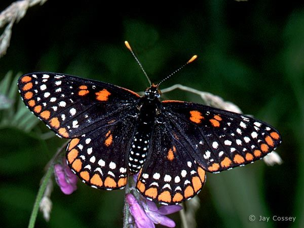 122 Best Images About Canadian Butterflies/ Moths On
