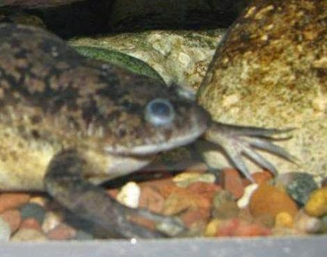 Noah's Park & Wildlife Sanctuary: African Clawed Frog Images
