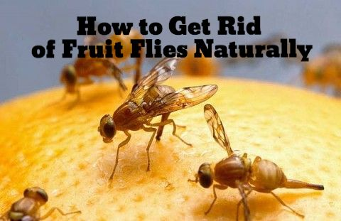 how to kill fruit flies naturally