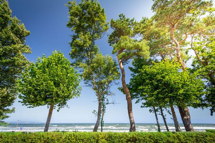 Die Strandpromenade von Binz mit ihrem typischen Kiefernbewuchs | Fotografiert von www.metapherschwein.de