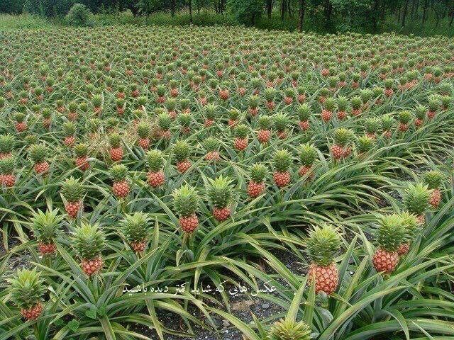 Visit a pineapple farm.