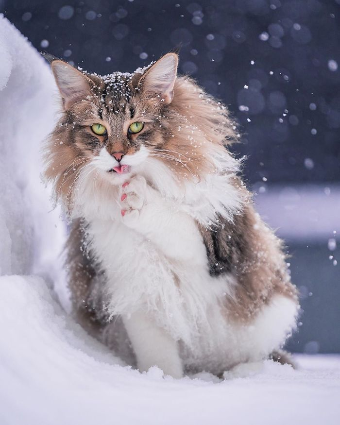 Owners Let Their Norwegian Forest Cat Roam Freely Outside And He Looks Majestic 32 Pics In 2020 With Images Norwegian Forest Cat
