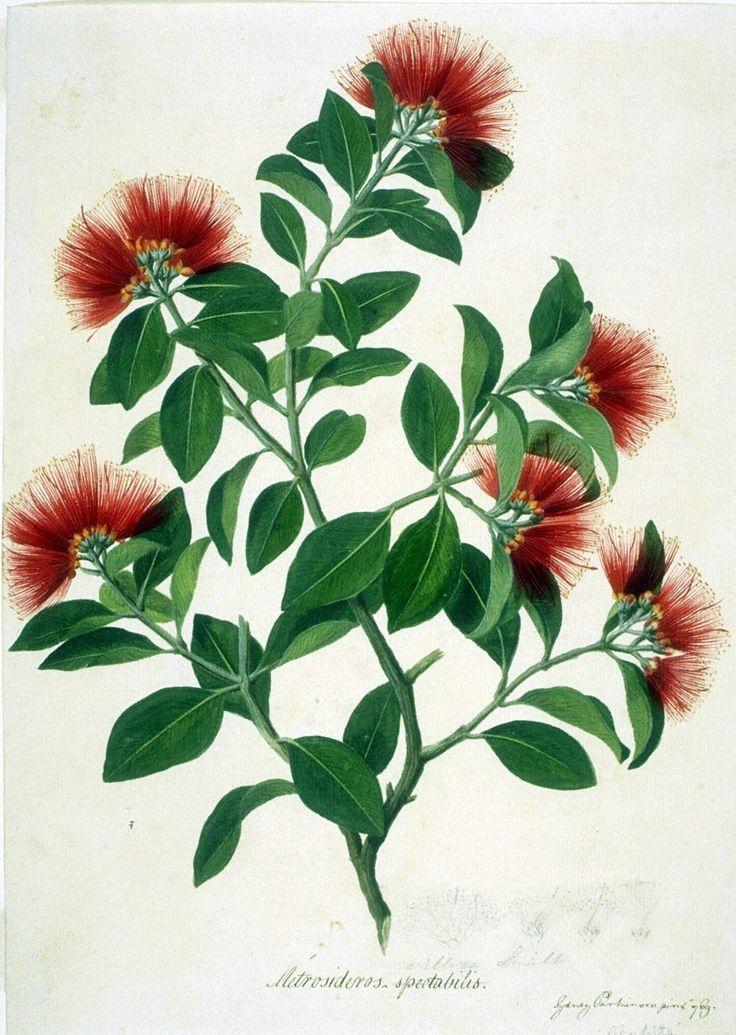 joseph banks botanical drawings - Google Search