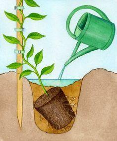 Plantation d'une plante grimpante